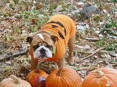 Our Plumpkin loves pumpkins