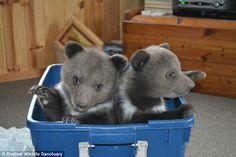 Twin Siberian bear cubs #DailyMail