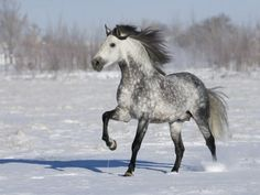 My next horse. Grey Andalusian Stallion Trotting in Snow, Longmont, Colorado, USA Premium Poster