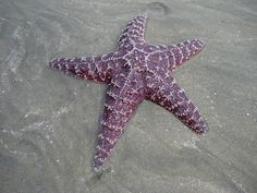 starfish | Desktop Nature Wallpapers | Starfish Desktop Background / Wallpaper