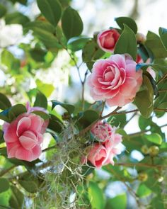 Camellias- (winter blooming?)