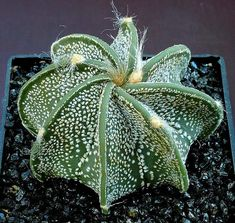 Indoor Container Cactus Ideas Goats Horn Cactus Astrophytum capricorne 20 seeds by SmartSeeds