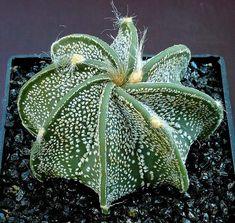 Indoor Container Cactus Ideas Goats Horn Cactus Astrophytum capricorne 20 seeds by SmartSeeds