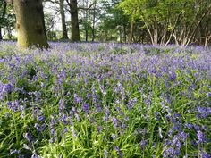 Top 5 places to find Bluebells in Epping Forest including Chingford, Wanstead, Loughton and Upshire Epping Forest, Rusalka, Picnic, Walks, Places, Trees, Wood, Woodwind Instrument, Tree Structure