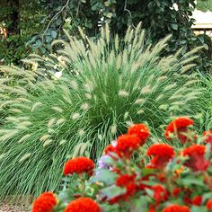 Pennisetum alopecuroides 39 cassian 39 dwarf fountain grass for Tall ornamental grasses for shaded areas