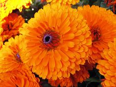 Marigolds (calendula) Pinch off the first flowers before they open. This will lead to a larger number of flowers.