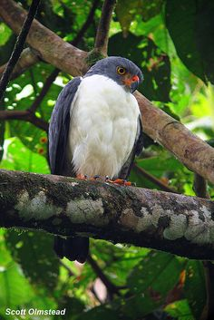 Semiplumbeous Hawk (Leucopternis semiplumbea)- This reclusive raptor was perched by the suspension bridge, seemingly drying out after a long rainy night. February 14, 2010. La Selva Biological Station, Heredia Costa Rica. Digiscoped with a Canon Powershot A590 IS through a Swarovski ATS 65 HD with a 20-60x eyepiece and the DCA Zoom.