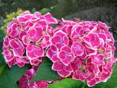 Hortensia bouquet