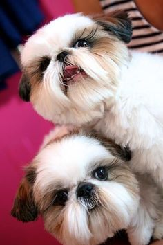 So cute, and look at those Shih Tzu eyelashes!