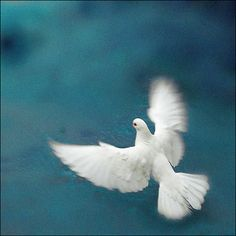 White Dove- symbolic for the Holy Spirit Beautiful Birds, Animals Beautiful, Beautiful Pictures, Dove Pigeon, Year Of The Rabbit, Peace Dove, White Doves, Amazing Grace, Jojo's Bizarre Adventure