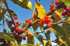 """The HIGHLY INVASIVE AUTUMN-OLIVE which grows from Maine to Alabama and as far west as Wisconsin, is not only rampant, but happens to be jam packed with flavor and nutritional value with a flavor is akin to """"several fruits, from currants and cranberries to peaches."""" and has 17 times more lycopene per ounce than the average raw tomato."""