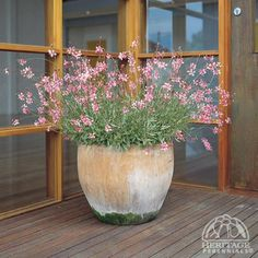 (='Colso') This is an Australian selection of Butterfly Gaura. Plants bloom for many weeks, with loose sprays of delicate pink flowers, like a cloud of small butterflies. Plants form a bushy, compact mound of green. Perennials Fabric, Full Sun Perennials, Shade Perennials, Garden Yard Ideas, Garden Pots, Gaura Plant, Perennial Plant, Pot Jardin, Pot Plante