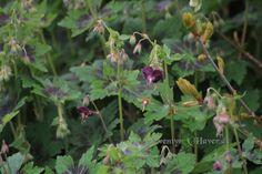 Skvalderkål kan du komme til livs med denne smukke Geranium Phaeum..