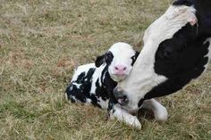 Mother Cow Was Rescued From Farm Just In Time To Have Her Baby - Animals wild, Animals cutest, Animals funny, Animals drawings Cute Baby Cow, Baby Cows, Cute Cows, Baby Baby, Baby Farm Animals, Animals And Pets, Funny Animals, Easy Animals, Fluffy Cows