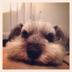 #schnauzer #dog #ミニチュアシュナウザー#シュナウザー - @Carolyne Garrison- #webstagram