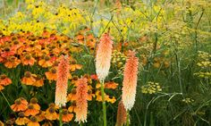Garden Ideas, Border ideas, Perennial Planting, Perennial combination, Summer Borders, Kniphofia Tawny King, Red Hot Pokers, Bronze Fennel, Foeniculum vulgare', Helenium, Sneezeweed, Sahin's Early Flowerer, Ratibida,