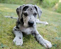 Great Dane/Dalmatian mix puppy