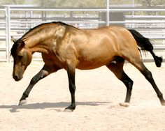 Iberian Beauty and Gait - It's a Marchador!   Stallions At Stud   Epona Exchange