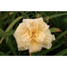 Daylily Schnickel Fritz 16 inches with 5 inch blooms.   Early-Mid Season, Dies Back,  Reblooms