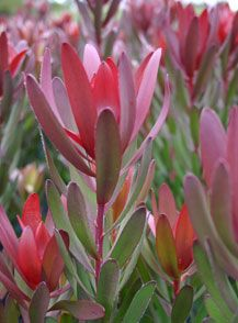 Safari Sunset, Leucadendron.