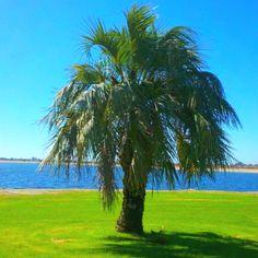 Plam Tree :)