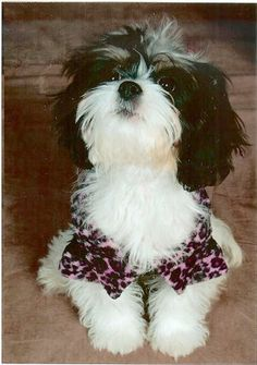 Lovely Shih Tzu Hybrids on Pinterest | Shih Tzu, Bichon Frise and Yor ...