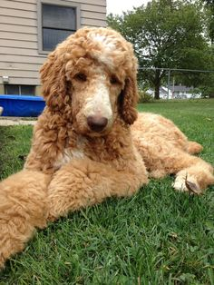 red standard poodle with white - Google Search