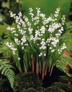 lily of the valley - great in shade - spreads like crazy - perennial - no maintenance