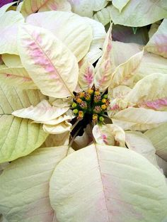 """Inside the Paul Ecke Poinsettia Ranch: The soft and lovely white and pink marbling of the Ecke Ranch's new Winter Blush™ make this poinsettia a standout. Its bracts (the colorful ""petals"") and strong cyathia clusters (the middle part, which is the actual flower) add to its total impact."""