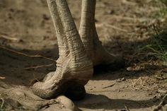 Ostrich feet | Flickr - Photo Sharing!