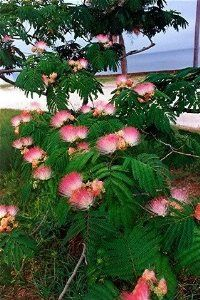 25 MIMOSA / PERSIAN SILK TREE Albizia Julibrissin Seeds by Seedville. $2.00. LIGHT REQUIREMENTS: Sun - Part Shade . . . SOIL / WATER: Average - Dry. BLOOM TIME: Pink Fuzzy Flowers in Late Spring. HARDINESS ZONE: 6 - 10. The Mimosa Tree is a small umbrella shaped tree. Its ferny leaves slowly close during the night and during periods of rain, the leaflets bowing downward as if the tree were sleeping. The bark or cortex is used to cure bruises and as a vermicide. The seeds ...