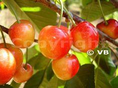 Čerešňa - 'Vega' - Ovocná škôlka - STAPE VAJDA s.r.o. Plum, Cherry, Cherries, Vegetable Garden, Plant, Prunus