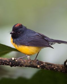 Slate-throated Redstart Native to the Americas, this bird prefers subtropical or tropical forest and grassland ecosystems.