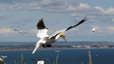 Gannet coming in to land at nesting colony, Bempton Cliffs Yorkshire Day, North Yorkshire, Nature View, Weekends Away, Sea Birds, Day For Night, Nature Reserve, Summer Activities, Days Out