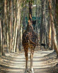 """Giraffes❤️ (@giraffe.appreciation) on Instagram: """"Adventure"""""""