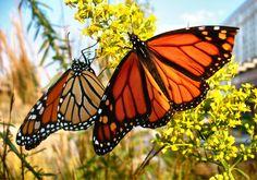 Two Monarch butterflies- monarch butterfly facts for kids butterfly facts butterfly pictures Monarch Butterfly Facts, Butterfly Facts For Kids, Monarch Butterfly Migration, Butterfly Park, Butterfly Pictures, Red Butterfly, Butterfly Kisses, Gossamer Wings, Butterflies Flying
