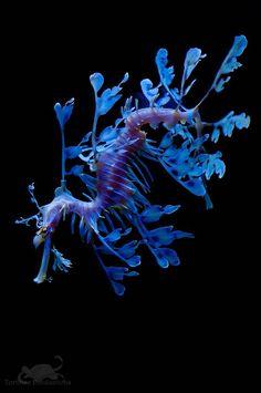 Leafy Sea Dragon, a Seahorse. Underwater Creatures, Underwater Life, Beautiful Creatures, Animals Beautiful, Poisson Mandarin, Leafy Sea Dragon, Fauna Marina, Water Animals, Deep Blue Sea
