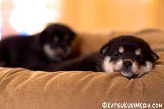 shiba pups - Bing Images
