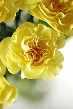 yellow dianthus / ATTRACTS: Butterflies. Yellow or Orange is best. Plant with Yarrow which attracts Orioles. Plant in groups of 3 or more. Rabbits enjoy nibbling on the foliage. Perfect edging plant.