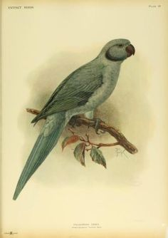 Extinct birds: the Rodrigues parakeet - Biodiversity Heritage Library
