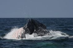 Humpback Whale lunge feeding, seen on a private Whale Watch with SeaSalt Charters out of Provincetown, MA., in Cape Cod.