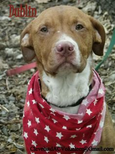 GONE. :( RIP. Pit Bull Terrier Mix • Young • Male • Medium. Cleveland Animal Control Cleveland, OH.  URGENT! NEEDS FOSTER/RESCUE/ADOPTER!  Email ClevelandACVolunteer@gmail.com if you can help! Dublin is a 10-12 month old, 40 lb. male (HW negative) Dublin is all wiggles! He loves to cuddle in your lap and smother your face with kisses. Puppyish, fun-loving, soft boy with playful energy. Energetic and super duper loving! All around awesome boy!...