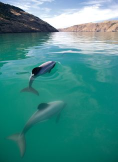 Hector's Dolphins. Named after the scientist, Sir James Hector, who examined the first specimen in 1875, Hector's Dolphin is found in the clear blue waters of the dramatic Akaroa Harbour and the deeply carved coastline of the Banks Peninsula.