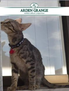 """A testimonial for the Arden Grange grain free Kitten Food from Alice Lopes, Portugal. """"I rescued my kitten 'Seven' from the street, she was very sick. I tried several pet foods, but she would not eat & every week I had to take her to the vet. I saw an online review highly rating your food so I was curious. Seven loved the food & began to grow, & now she is always already to play. I think this food saved my kitten from malnutrition, & she is very happy when she sees the green package!"""""""