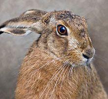 Hare by Krys Bailey