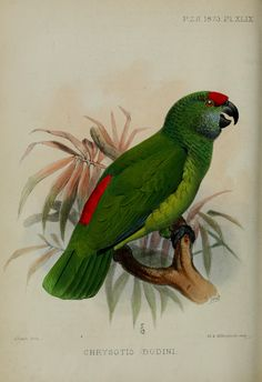 1873 - Proceedings of the Zoological Society of London. Bird Illustration, Illustrations, Zoology, Wildlife Art, Bird Prints, Art Museum, Literature, Sketches, Birds