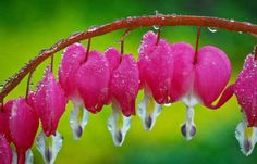 Bleeding Heart Flowers: Blooms late spring, early summer.