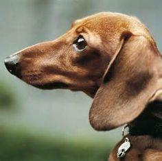 Wiener Dog.
