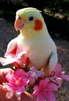 What a cute cockatiel! I love these birds, used to breed and hand raise them. Cockatiels are like having a tiny puppy with feathers. Cute Birds, Pretty Birds, Beautiful Birds, Animals Beautiful, Cockatiel, Budgies, Parrots, Exotic Birds, Colorful Birds