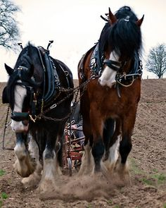 Shire Horses at work (1) (by mobbsje)